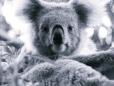 Um dos símbolos da Austrália - o Koala.