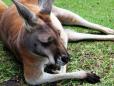 Um dos símbolos da Austrália - O Canguru.