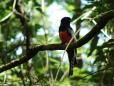 Pássaro Alaranjado.